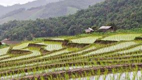 Rijstzaailing op terraspadievelden Royalty-vrije Stock Fotografie
