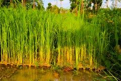 Rijstzaailingen, het begin van een rijstinstallatie Stock Afbeelding
