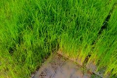 Rijstzaailingen, het begin van een rijstinstallatie Stock Foto's