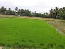 Rijstzaden royalty-vrije stock afbeelding