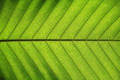 Rik grön bladtextur att se igenom symmetriåderstrukturen, naturligt texturbegrepp royaltyfria foton