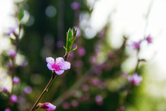 Rik rosa persikablomma Arkivbild