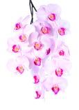 Riklig blomning av en rosa orkidé Royaltyfria Foton