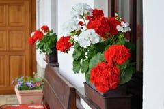 Rikt blomma pelargonblommor på fönstren royaltyfri bild