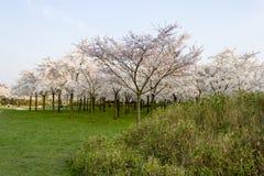 Rikt blomstra den sakura trädgården med solen som skiner royaltyfri fotografi
