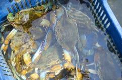 Rikt lås av den blåa krabban royaltyfri fotografi
