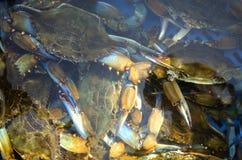 Rikt lås av den blåa krabban arkivbilder
