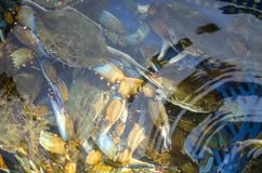 Rikt lås av den blåa krabban fotografering för bildbyråer