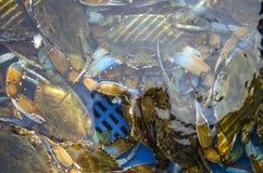 Rikt lås av den blåa krabban royaltyfri bild