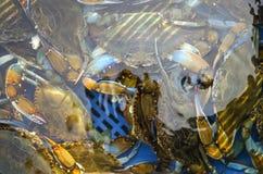 Rikt lås av den blåa krabban arkivfoto