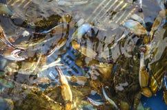 Rikt lås av den blåa krabban arkivfoton