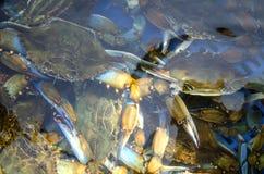 Rikt lås av den blåa krabban royaltyfri foto