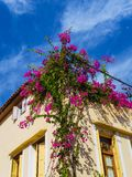 Rikt purpurfärgat växa för blommor från taket av byggnaden arkivfoton