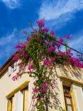 Rikt purpurfärgat växa för blommor på hörnet av huset royaltyfri fotografi