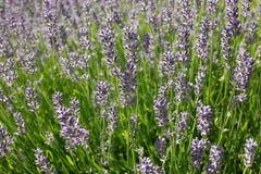 Riktig lavendel eller eller engelsk lavendel & x28; Lavandulaangustifolia& x29; Royaltyfria Bilder