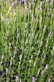 Riktig lavendel eller eller engelsk lavendel (Lavandulaangustifoliaen) Fotografering för Bildbyråer