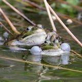 Riktiga grodor i dammet Royaltyfria Bilder