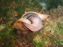 Riktiga Tulip Snail i hamnen Fotografering för Bildbyråer