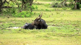 Riktigt är grundad på djurliv en vattenbuffel naturträsk arkivfoton