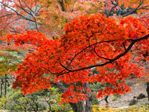 Rikugien Garden. Famous place to watch autumn colors in Tokyo, japan Stock Photos