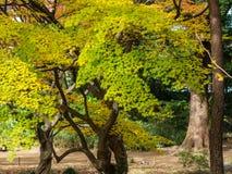 Rikugien trädgård Berömt ställe som håller ögonen på höstfärger i Tokyo, Japan fotografering för bildbyråer