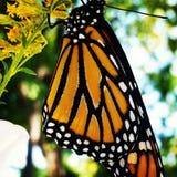 Rilascio del monarca Fotografie Stock Libere da Diritti