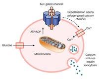 Rilascio dell'insulina dalla cellula Fotografie Stock Libere da Diritti