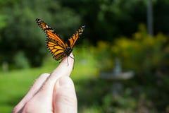 Rilascio della farfalla di monarca Fotografia Stock