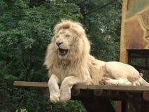 Rilassamento bianco del leone Immagini Stock Libere da Diritti