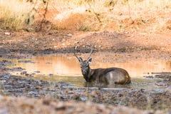 Rilassamento dei cervi del Sambar Immagine Stock Libera da Diritti