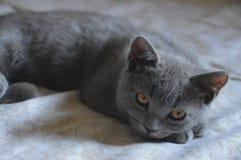 Rilassamento del gatto Fotografia Stock