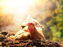 Rilassamento della gallina del pollo che si trova nel suolo della sporcizia contro il bello sole Fotografie Stock