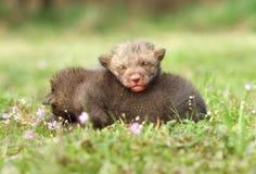 Rilassamento della volpe del bambino Immagine Stock Libera da Diritti