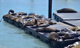 Rilassamento delle lontre di mare Fotografia Stock Libera da Diritti