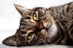 Rilassamento felino dell'amico del gatto Primo piano del fronte Immagini Stock