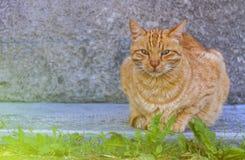 Rilassamento rosso del gatto Fotografie Stock