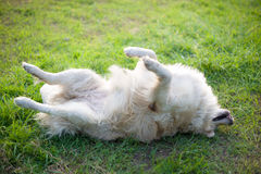 Rilassi il retriver dorato labrador Fotografie Stock