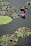 Rilievi di giglio in acqua tranquilla Fotografia Stock