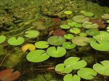 Rilievi di Lilly in uno stagno del giardino Fotografia Stock Libera da Diritti