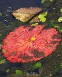 Rilievo gigante di Lilly dell'acqua rossa Fotografia Stock Libera da Diritti