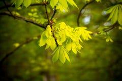 Rim com folhas em uma árvore de castanha no fundo da natureza do springÑŽ Copie o espaço Imagens de Stock Royalty Free