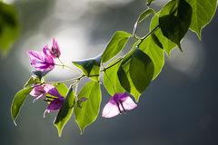 Rim light flower and tree leaves Royalty Free Stock Photography