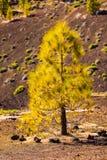 Rimboschimento del pino nella fine di area vulcanica di Teide su Fotografia Stock