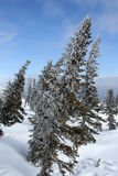 Rime. Spruce in rime in the mountains in winter Royalty Free Stock Images