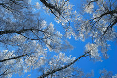 Rime on birches Royalty Free Stock Photography