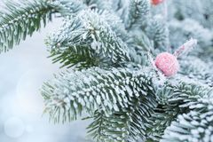 Rime covered fir branches with a rose hip in winter Stock Image