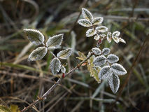 Free Rime Covered Leafs Stock Photography - 34724662