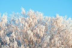 Rime on branches of trees in sunset light Stock Photography