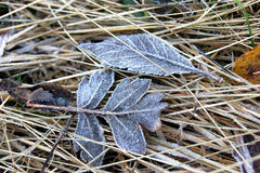 Rime. Fallen leaves covered with hoarfrost Stock Photography