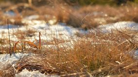 Rime plants ice snow. Rime first frost plants in ice crystals stock video footage
